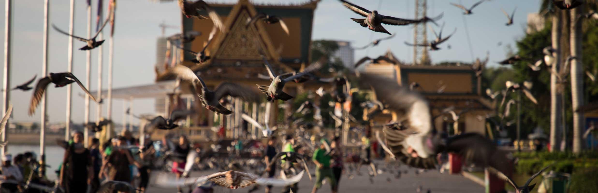 柬埔寨鸽子