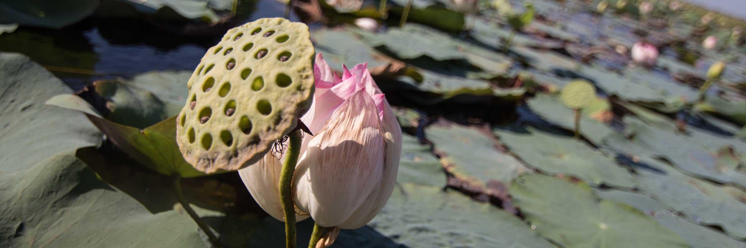 荷花 Lotus